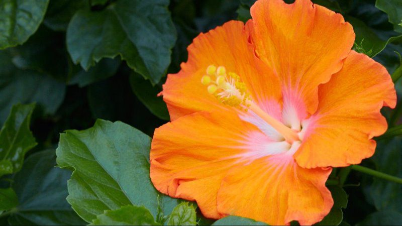 Home  Hollywood Hibiscus