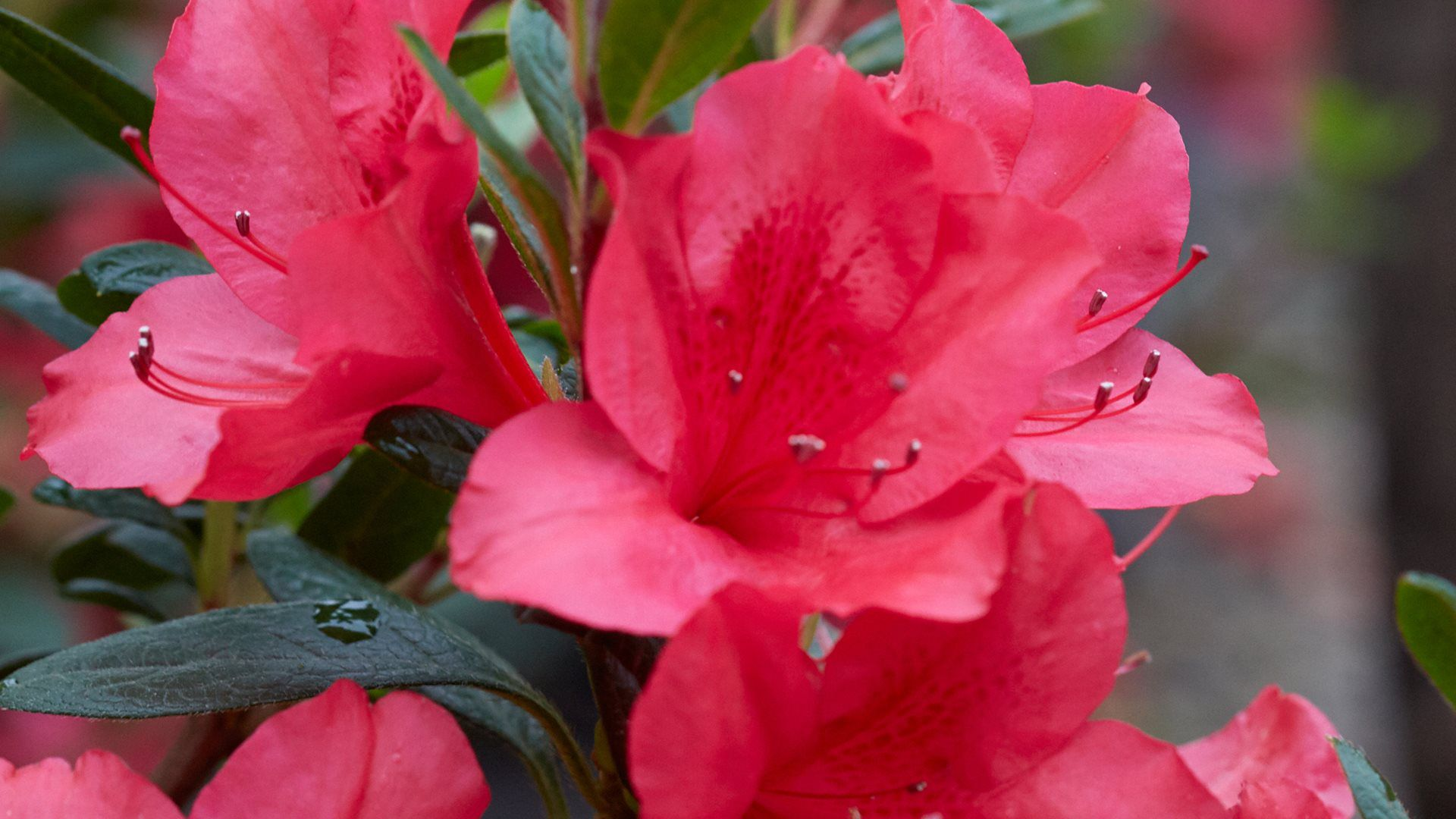 Azalea Fuchsia Parasol™ - Deja Bloom Azalea