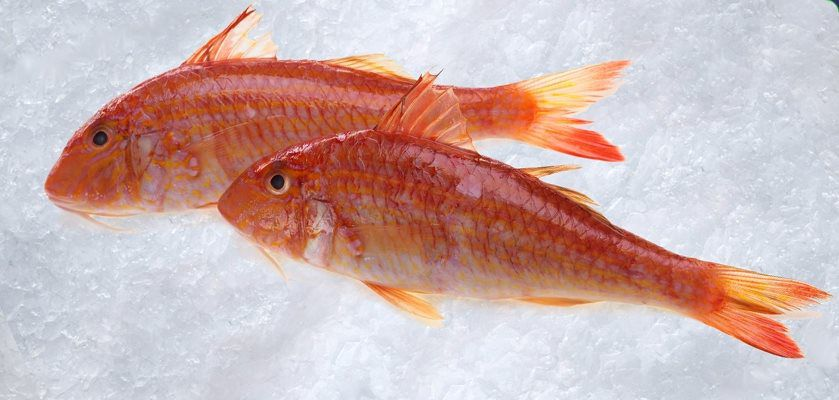 Red mullet universal seafood for Red mullet fish